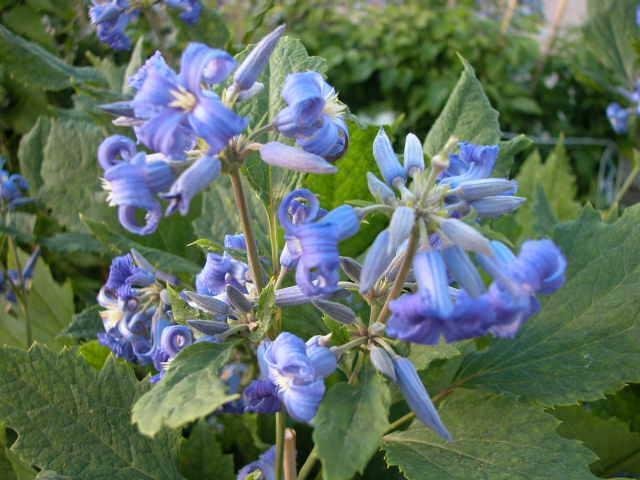 Plamének bolševníkolistý 'Stanislaus' - Clematis heracleifolia 'Stanislaus'