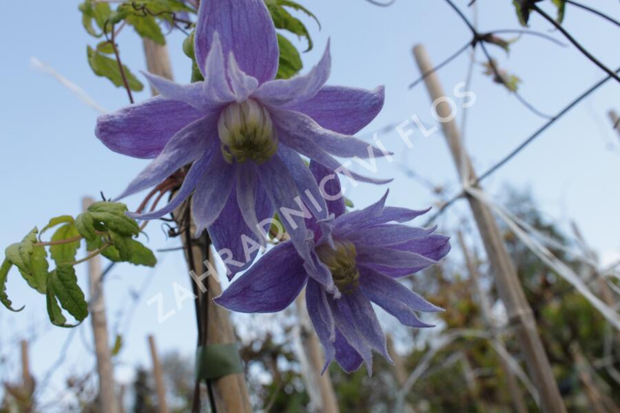Plamének alpský 'Cecile' - Clematis alpina 'Cecile'