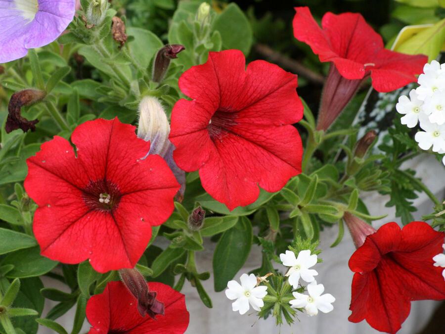 Petúnie 'Scarlet Red' - Petunia hybrida Surfinia 'Scarlet Red'