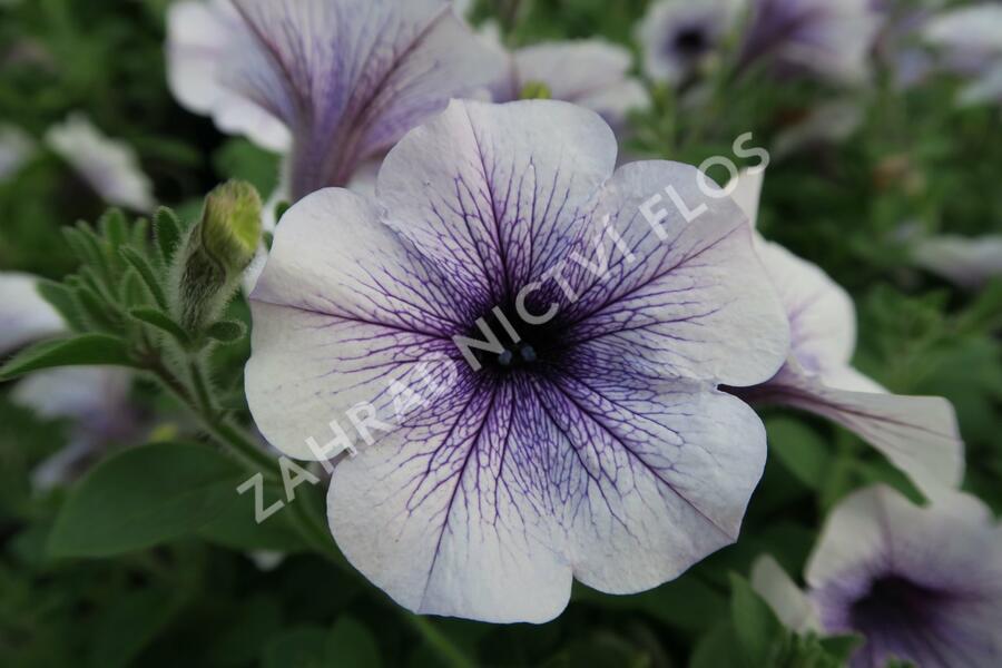 Petúnie 'Blue Vein' - Petunia hybrida Surfinia 'Blue Vein'