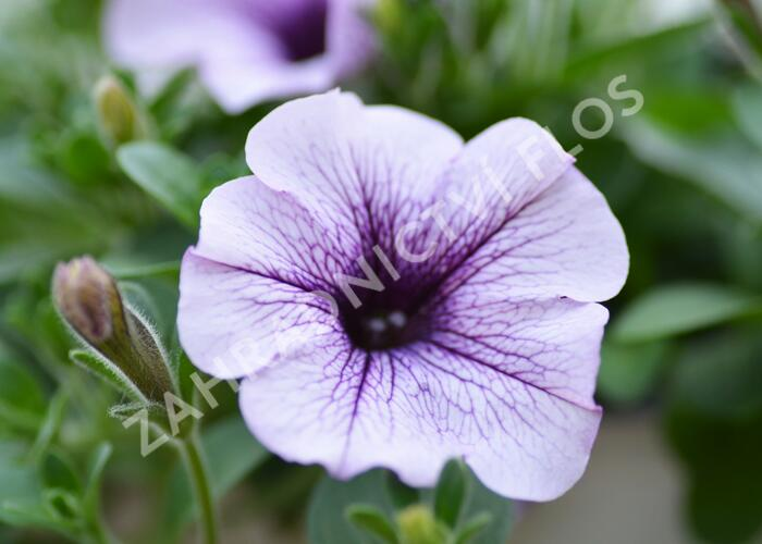 Petúnie 'Compact Purple Vein' - Petunia hybrida Surfinia 'Compact Purple Vein'