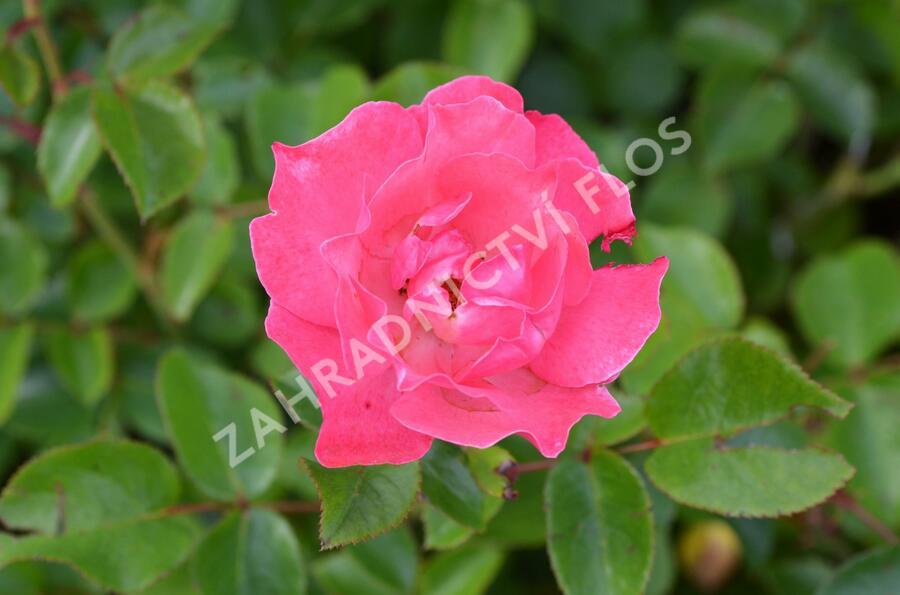 Růže mnohokvětá 'Iga 83 München' - Rosa MK 'Iga 83 München'