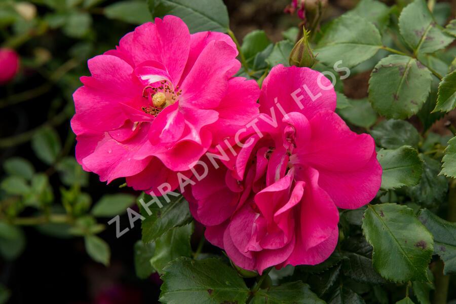 Růže mnohokvětá 'Sommermärchen' - Rosa MK 'Sommermärchen'