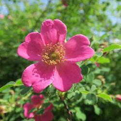 Růže Moyesova - Rosa moyesii