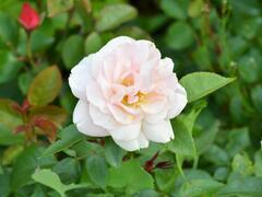 Růže velkokvětá Kordes 'Lion's Rose' - Rosa VK 'Lion's Rose'
