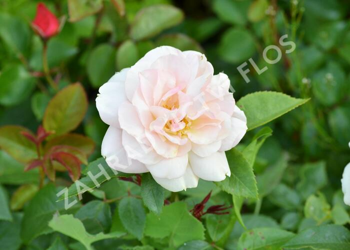 Růže velkokvětá 'Lion's Rose' - Rosa VK 'Lion's Rose'