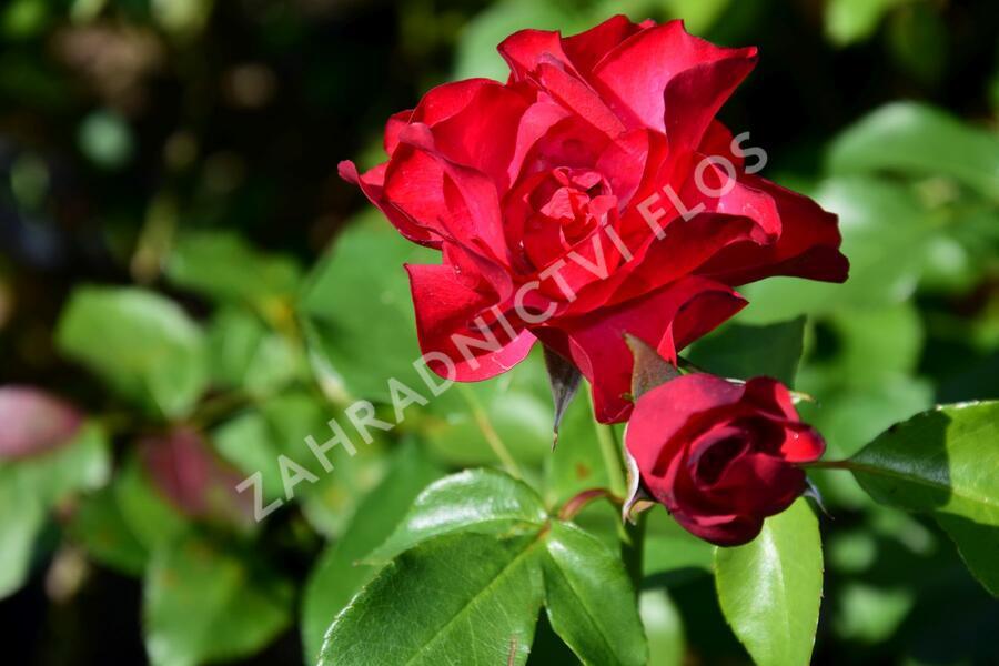 Růže mnohokvětá 'Crimson Meidiland' - Rosa MK 'Crimson Meidiland'