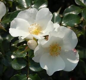 Růže mnohokvětá Kordes 'Escimo' - Rosa MK 'Escimo'