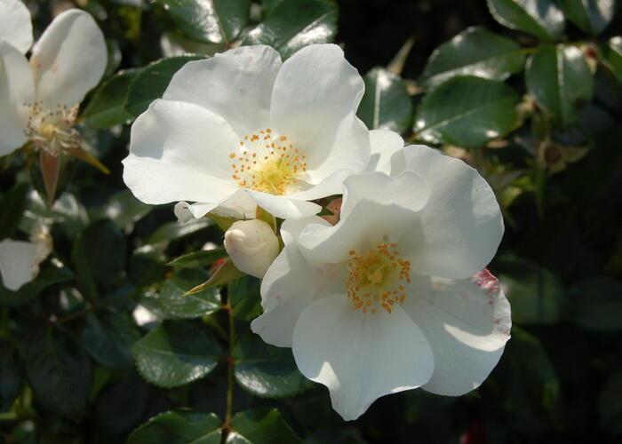 Růže mnohokvětá 'Escimo' - Rosa MK 'Escimo'