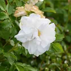 Růže svraskalá 'Blanc Double de Coubert' - Rosa rugosa 'Blanc Double de Coubert'