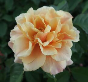 Růže mnohokvětá Kordes 'Caramella' - Rosa MK 'Caramella'