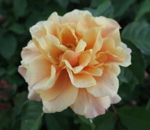 Růže mnohokvětá 'Caramella' - Rosa MK 'Caramella'