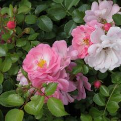 Růže mnohokvětá Tantau 'Satina' - Rosa MK 'Satina'