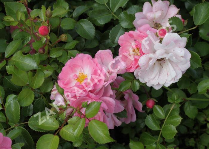 Růže mnohokvětá 'Satina' - Rosa MK 'Satina'