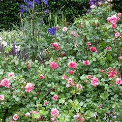 Růže mnohokvětá Meilland 'Pink Swany' - Rosa MK 'Pink Swany'
