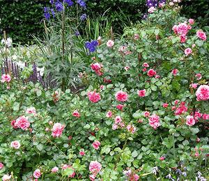 Růže mnohokvětá 'Pink Swany' - Rosa MK 'Pink Swany'