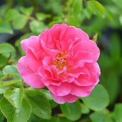 Růže mnohokvětá 'Lovely Meidiland' - Rosa MK 'Lovely Meidiland'