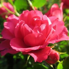 Růže mnohokvětá Tantau 'Rody' - Rosa MK 'Rody'