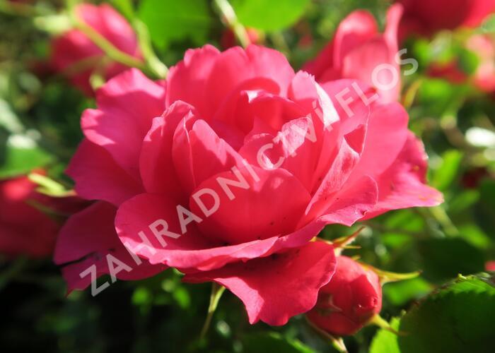 Růže mnohokvětá 'Rody' - Rosa MK 'Rody'