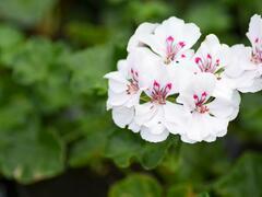 Muškát, pelargonie převislá plnokvětá 'Corriente Luna' - Pelargonium peltatum 'Corriente Luna'