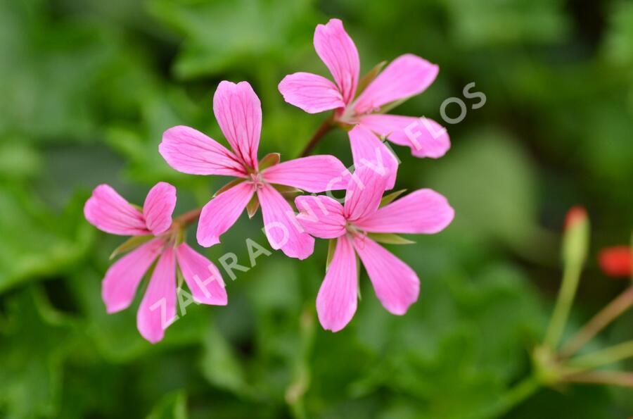 Muškát, pelargonie převislá jednoduchá 'Cascade Lila' - Pelargonium peltatum 'Cascade Lila'