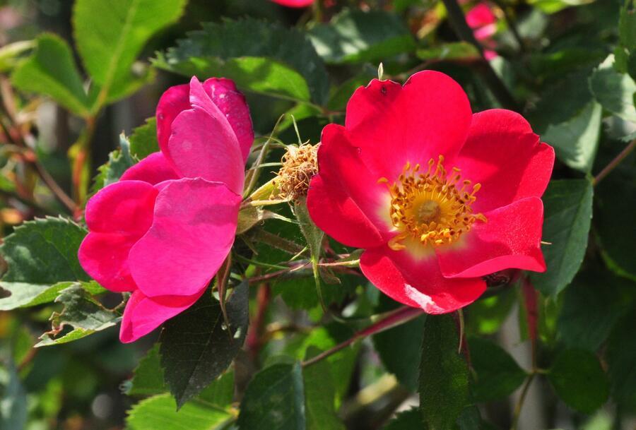 Růže šípková 'Kiese' - Rosa canina 'Kiese'