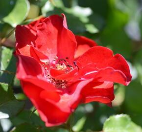 Růže mnohokvětá Meilland 'La Sevillana' - Rosa MK 'La Sevillana'