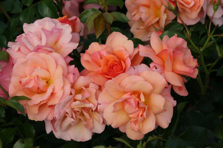 Růže mnohokvětá 'Aprikola' - Rosa MK 'Aprikola'