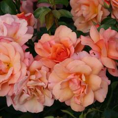 Růže mnohokvětá Kordes 'Aprikola' - Rosa MK 'Aprikola'