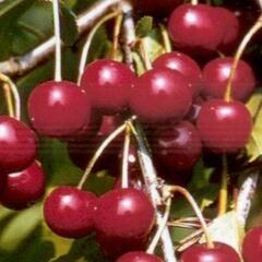 Višeň velmi pozdní - kyselka 'Fanal' - Prunus cerasus 'Fanal'