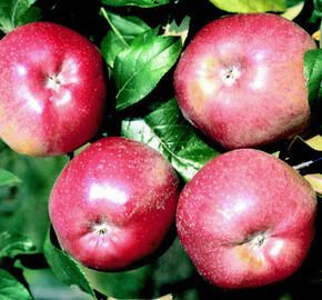 Jabloň zimní 'Melrose' - Malus domestica 'Melrose'