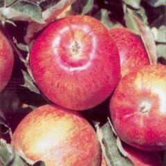 Jabloň zimní 'Jonagored' - Malus domestica 'Jonagored'
