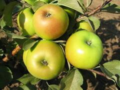 Jabloň zimní 'Goldstar' - Malus domestica 'Goldstar'