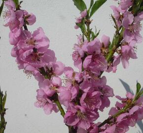 Nektarinka zakrslá 'Balkonella' - Prunus persica 'Balkonella'
