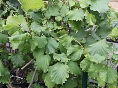 Líska obecná 'Lombardská zelená' - Corylus avellana 'Lombardská zelená'