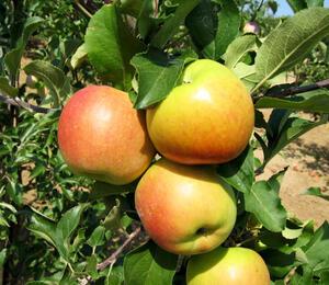 Jabloň zimní 'Fany' - Malus domestica 'Fany'