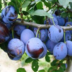 Pološvestka - velmi pozdní 'Elena' - Prunus domestica 'Elena'