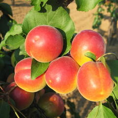 Meruňka - raná 'Veselka' - Prunus armeniaca 'Veselka'