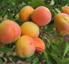 Meruňka středně raná 'Exnarova' - Prunus armeniaca 'Exnarova'