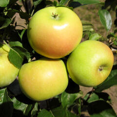 Jabloň podzimní 'Sonet' - Malus domestica 'Sonet'