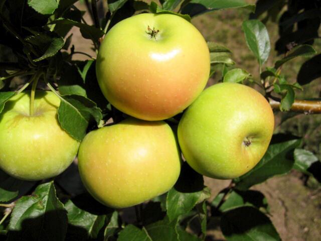 Jabloň sloupovitá - Malus domestica 'Sonet'