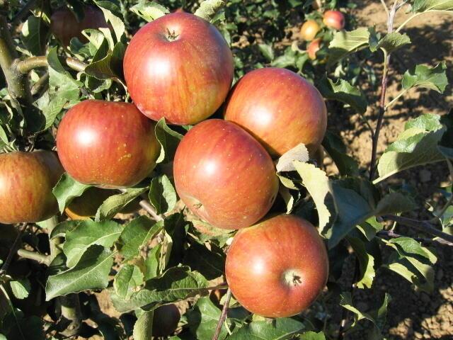 Jabloň zimní 'Jonalord' - Malus domestica 'Jonalord'