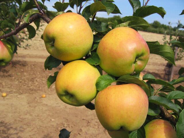 jabloň zimní 'Biogolden' - Malus domestica 'Biogolden'