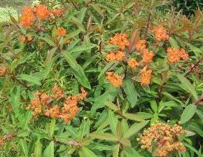 Pryšec Griffithův 'Dixter' - Euphorbia griffithii 'Dixter'