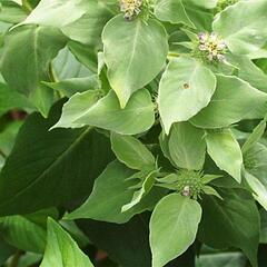 Americká horská máta - Pycnanthemum muticum