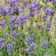 Levandule úzkolistá 'Grappenhal' - Lavandula angustifolia 'Grappenhal'