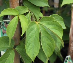 Přísavník - Parthenocissus himalayana var. Rubrifolia
