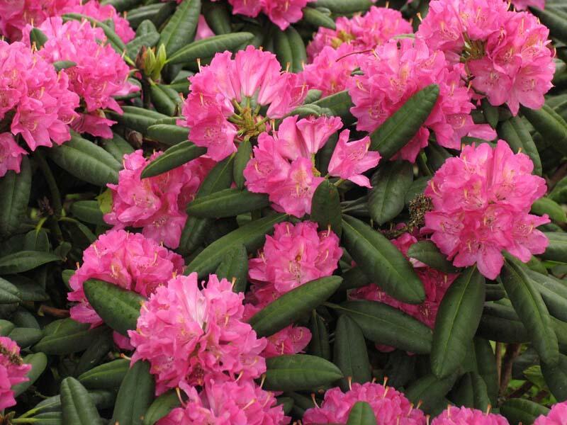 Pěnišník 'Catharine van Tol' - Rhododendron 'Catharine van Tol'