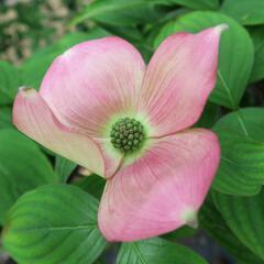 Dřín 'Rutgan Stellar Pink' - Cornus 'Rutgan Stellar Pink'