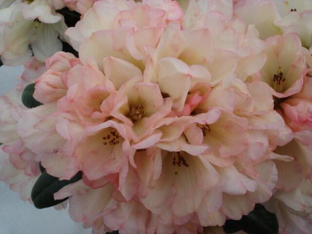 Pěnišník 'Dusty Miller' - Rhododendron (Y) 'Dusty Miller'